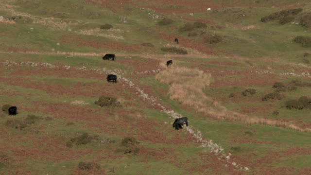 beef cattle on a remote scottish hillside - johnfscott stock videos & royalty-free footage