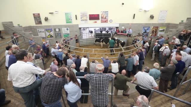 beef cattle pass through the sale ring during the livestock auction by auctioneers greenslade taylor hunt at sedgemoor market in bridgewater uk on... - flat cap stock videos & royalty-free footage