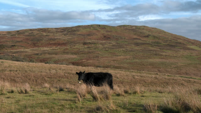 Beef cow on a remote Scottish hillside