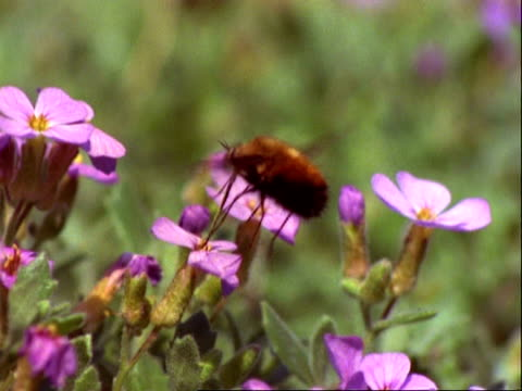 vidéos et rushes de beefly, ms high speed hovers and feeds at mauve flowers - nez d'animal