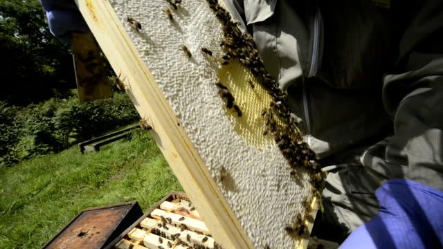 vídeos de stock, filmes e b-roll de beekeeper holding honeycomb - grupo mediano de animales