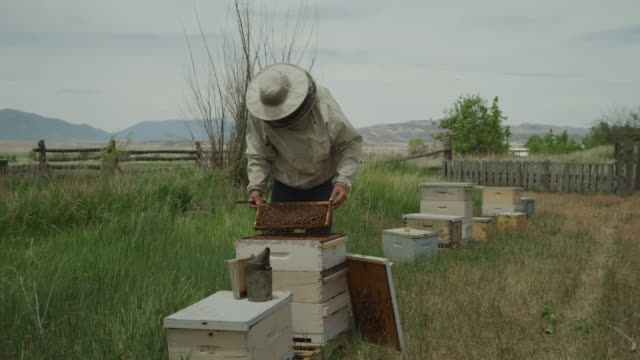 beekeeper lifting and examining frame from beehive / spring city, utah, united states - beehive stock videos & royalty-free footage