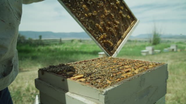 vídeos de stock e filmes b-roll de beekeeper lifting beehive lid and spraying bees with smoker / spring city, utah, united states - grupo mediano de animales