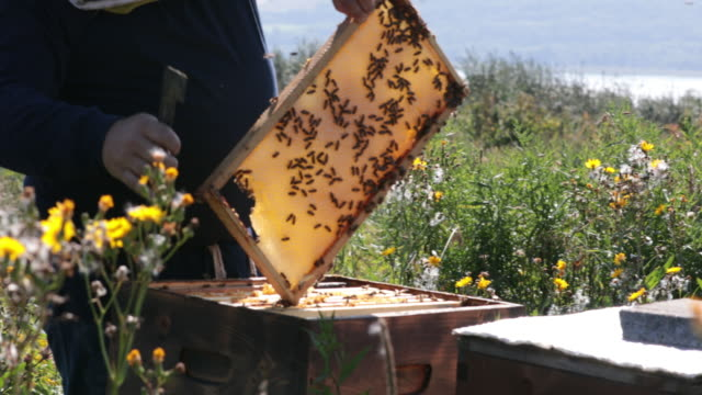 beekeeper working and inspecting hive - beehive stock videos & royalty-free footage