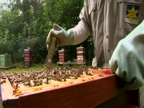 A beekeeper works with bees