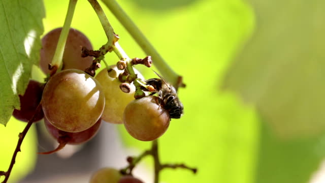 Bees are eating the grapes.