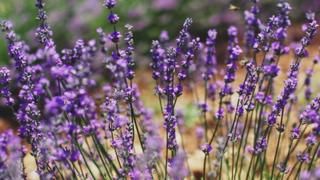 bees are hovering by fresh lavender flowers - pollination stock videos & royalty-free footage