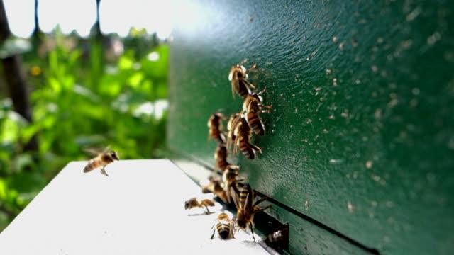 vidéos et rushes de bees arriving and leaving beehive - ruche