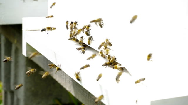 bees at the entrance of the beehive - swarm of insects stock videos & royalty-free footage