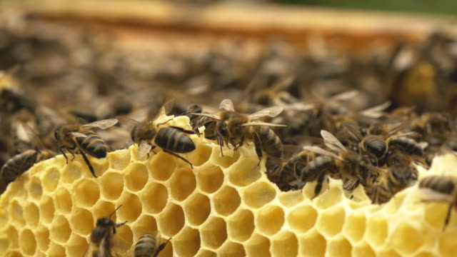 bees at the honeycomb - bee stock videos & royalty-free footage