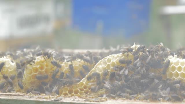 vídeos de stock, filmes e b-roll de bees at the honeycomb - abelha obreira
