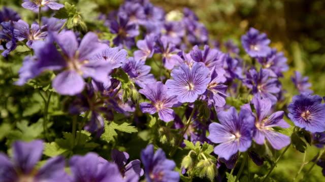 vídeos y material grabado en eventos de stock de bees at work on purple garden flowers - grupo mediano de animales