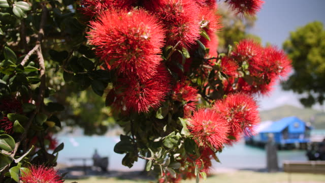 bees collect nectar from red pohutukawa flowers by the sea - akaroa stock videos & royalty-free footage