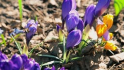 Bees collect nectar from the blossoming flowers of blue Crocus in a forest glade