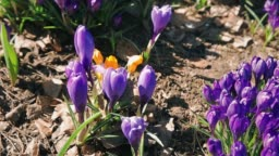 Bees collect nectar from the blossoming flowers of blue Crocus in a flower bed near the house HD 1080p
