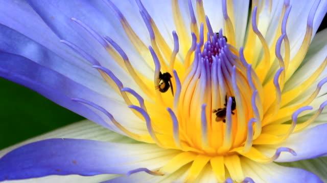 api raccogliere polline su un fiore di loto - gambe incrociate video stock e b–roll
