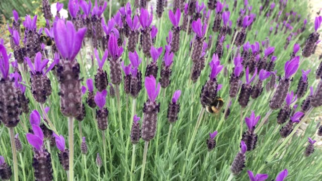 Bees Collecting Nectar from Lavender Flowers