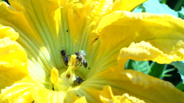 SLO MO Bees Collecting Pollen On Pumpkin Flower