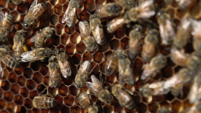 cu bees crawling on a honeycomb - tiergruppe stock-videos und b-roll-filmmaterial