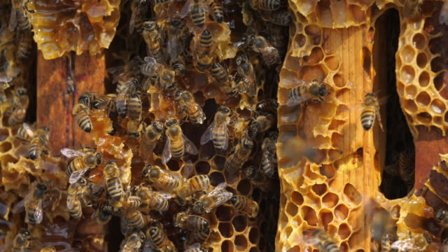 vidéos et rushes de bees during the harvesting honey - abeille