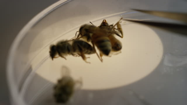 Bees Dying in Lab Dish