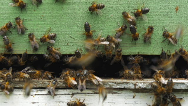 Bees entering his beehive
