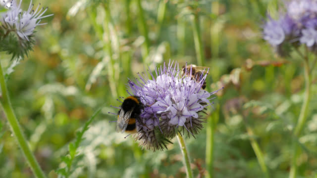 bees feed on hedgerow flowers, uk - insect stock videos & royalty-free footage