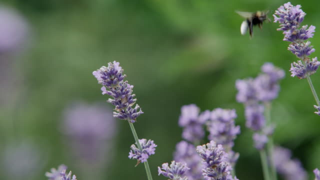 vidéos et rushes de bees feeds on lavendar flowers and then take off, in slow motion. - 40 secondes et plus