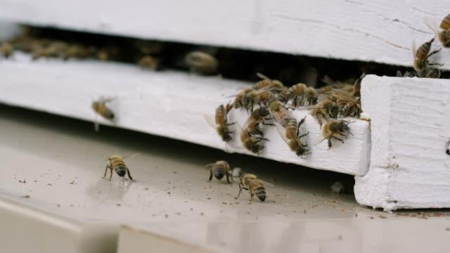 vidéos et rushes de abeilles volent autour de ruche - ruche