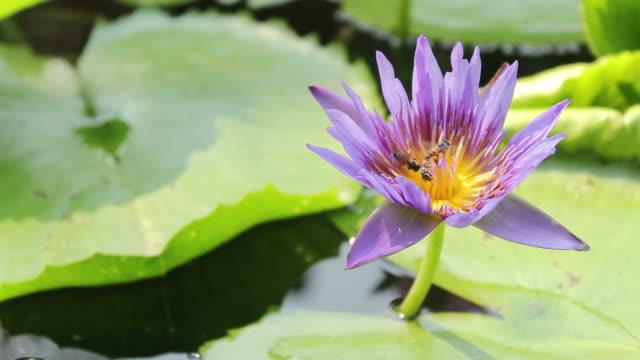 stockvideo's en b-roll-footage met bees fly into the purple lotus - middelgrote groep dieren