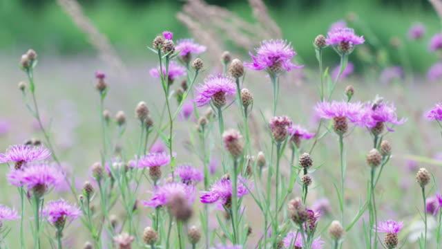 bienen fliegen und landen auf wildblumen - wildblume stock-videos und b-roll-filmmaterial