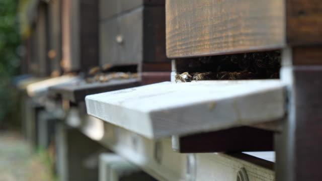 stockvideo's en b-roll-footage met bijen vliegen rond de bijenkorven. - honingbij