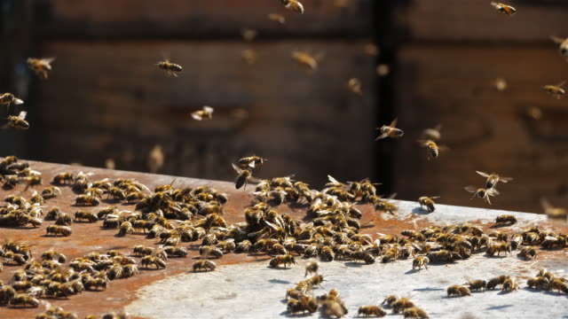 vidéos et rushes de bees flying around the hive - abeille