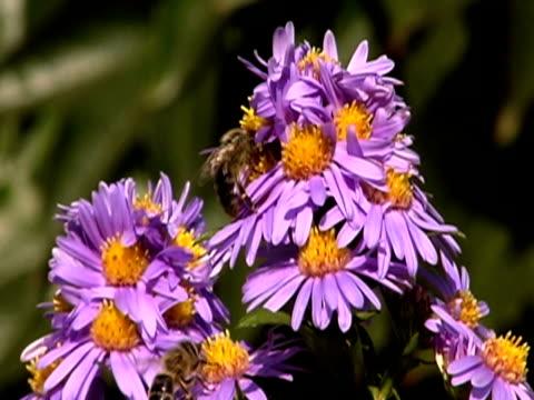 vídeos y material grabado en eventos de stock de abejas volando en flores ntsc - grupo pequeño de animales