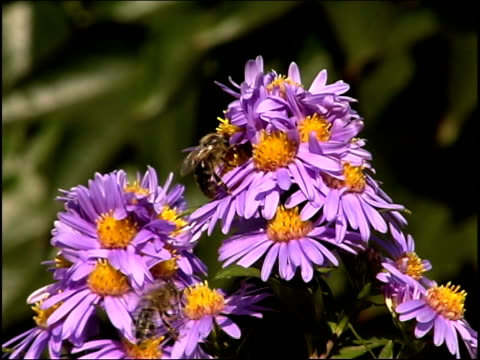 bees flying on flowers pal - small group of animals stock videos & royalty-free footage