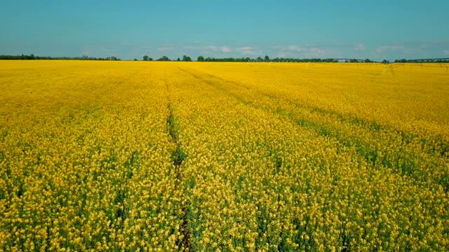 夏の日の熟した菜種の黄色のフィールド上を飛んでミツバチ