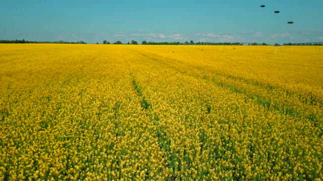 bees flying over yellow field of ripe rapeseed on summer day - monoculture stock videos & royalty-free footage