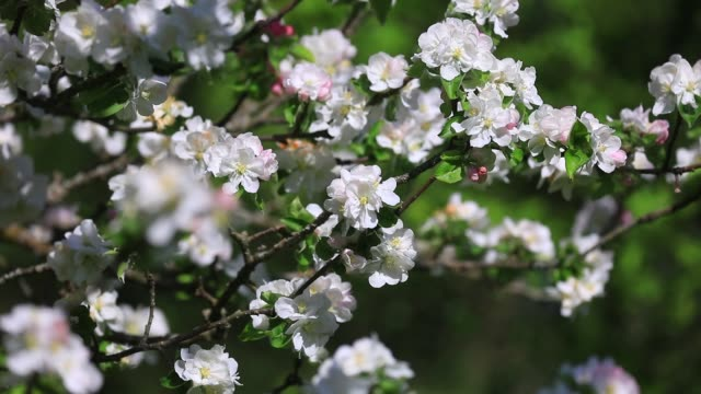 bees foraging on a blooming apple tree during spring on april 17 2020 in chambery france - pollination stock videos & royalty-free footage
