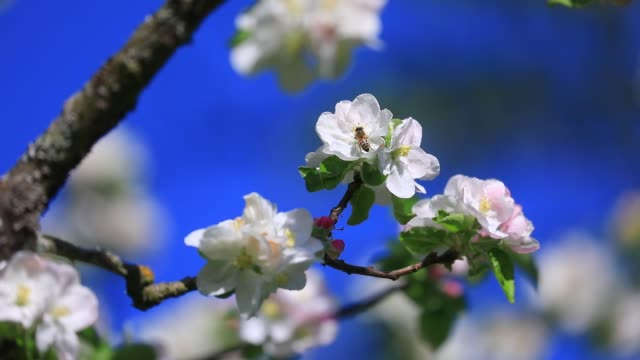 vidéos et rushes de bees foraging on a blooming apple tree during spring on april 17, 2020 in chambery, france. - ruche