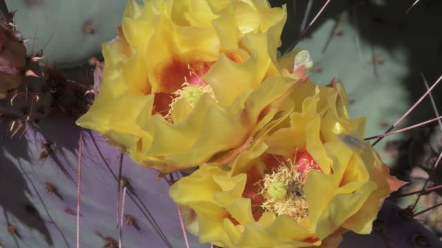 bees gathering pollen from cactus flowers - arizona cactus stock videos & royalty-free footage