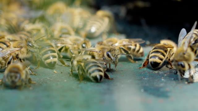 stockvideo's en b-roll-footage met bees in slow motion - honingbij