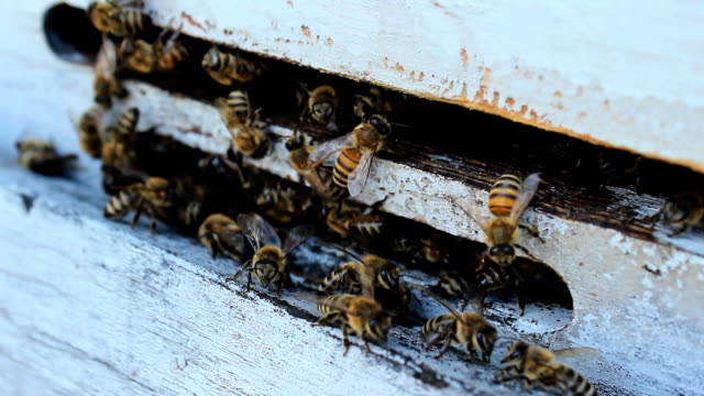 bienen in beehives - tierfarbe stock-videos und b-roll-filmmaterial