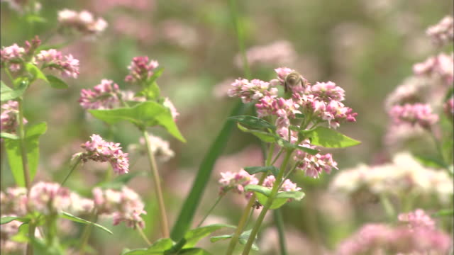 bees land on red buckwheat flowers. - buckwheat stock videos & royalty-free footage