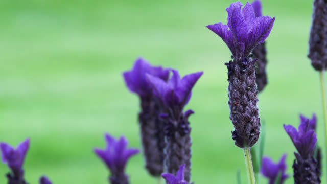 Bees landing on a purple lavender plant