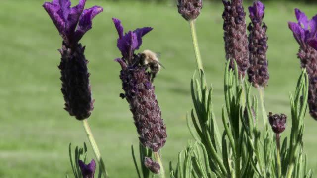 Abeilles atterrissant sur la lavande usine violet