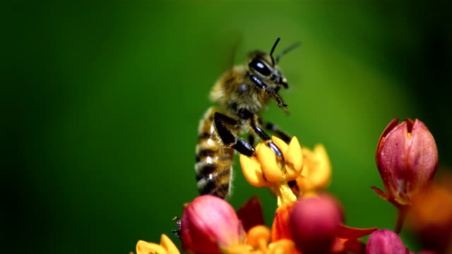 a bee's legs get entangled in a flower. available in hd. - ape video stock e b–roll