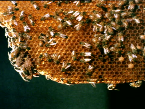 vídeos de stock, filmes e b-roll de bees moving working on hanging comb w/ brood chamber being constructed cu honey bees working on constructing brood chambers at bottom of comb - abelha obreira