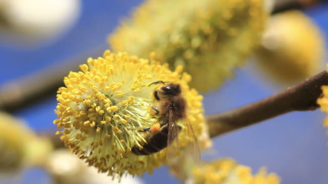 bees on blooming pussy willow