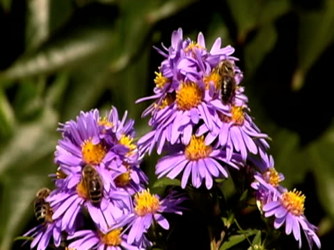 bees on flower ntsc - invertebrate stock videos & royalty-free footage