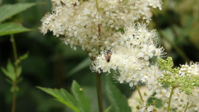 vidéos et rushes de abeilles sur fleurs hd - groupe moyen d'animaux